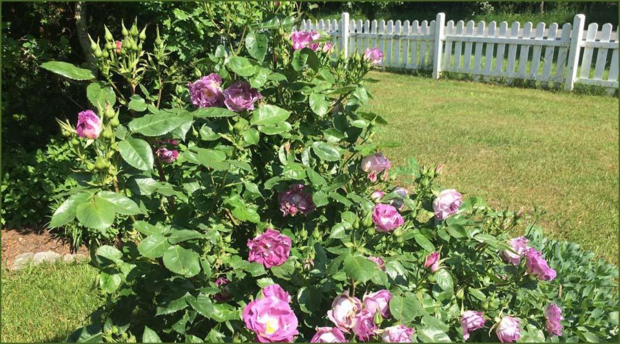 Urlaubseindrücke Haus Friesenglück in Kolkerheide, Nordfriesland - Blütenpracht im Hausgarten 4