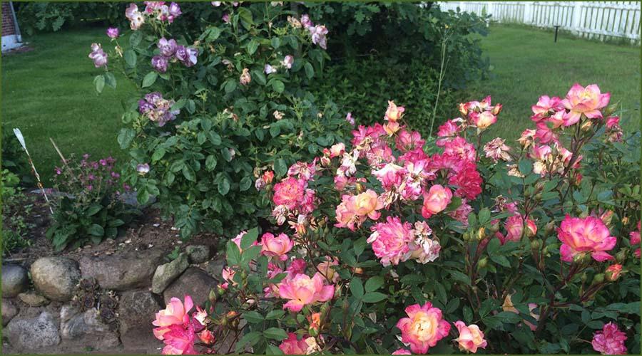 Urlaubseindrücke Haus Friesenglück in Kolkerheide, Nordfriesland - Blütenpracht im Hausgarten 2